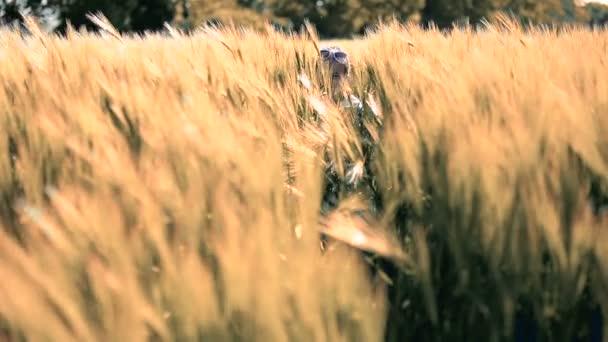Little girl child brunette latino walks in he wheat field, among the ears, walks, smiles, falls.