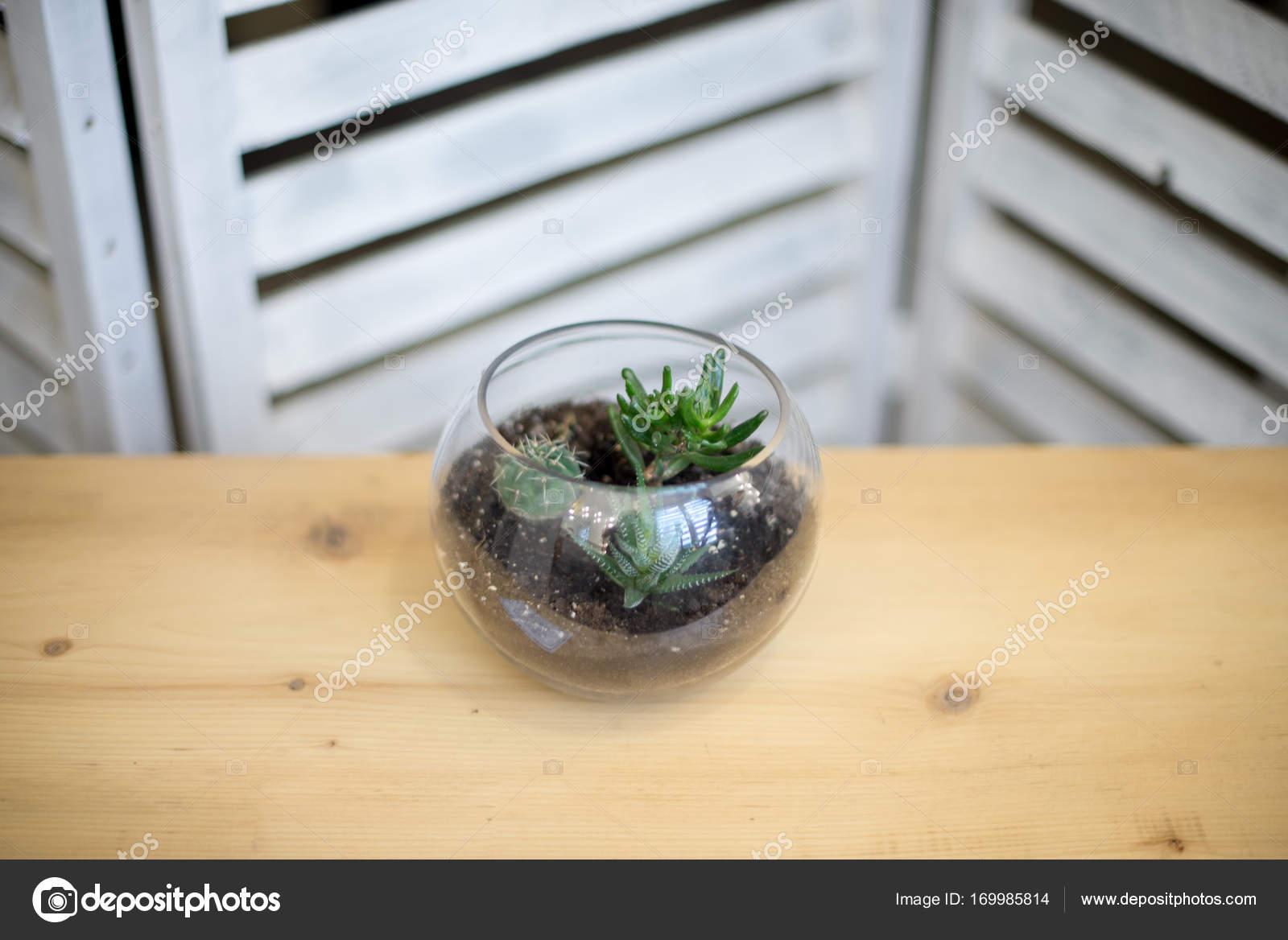 Szklana Doniczka Formą Dwunastościan Z Echeveria I Aloes