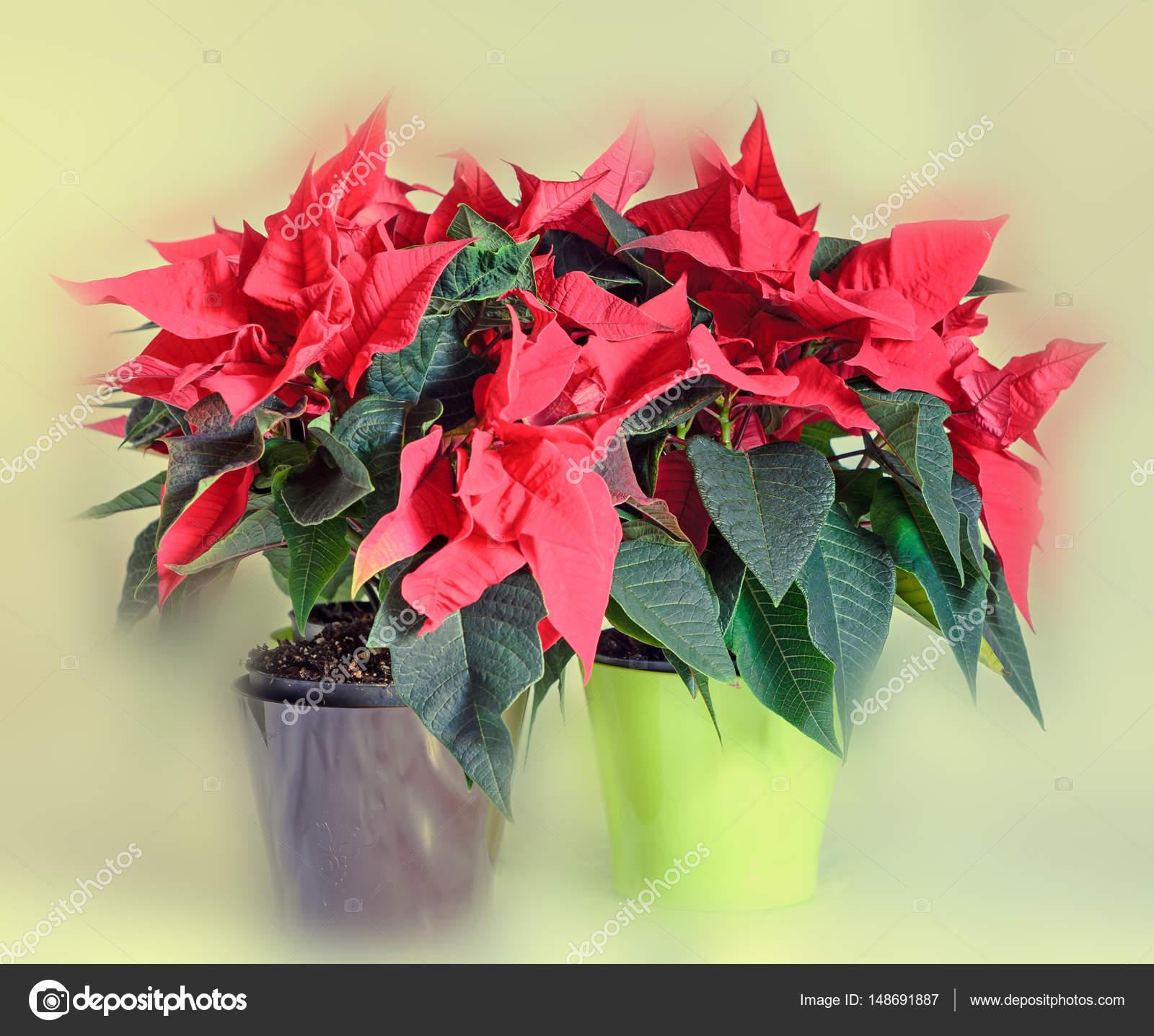 The Poinsettia Red Flowers Euphorbia Pulcherrima Stock Photo
