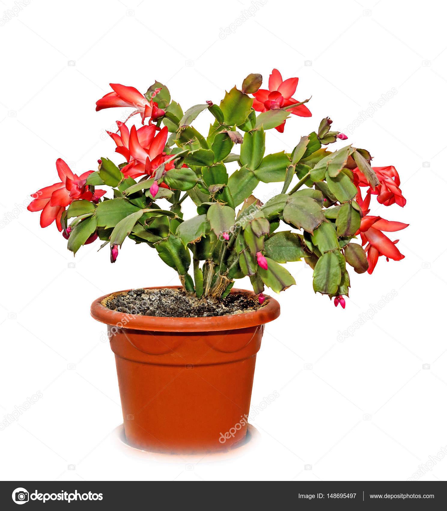 Czerwony Szlumbergera Ucięta Kwiaty W Doniczki Boże