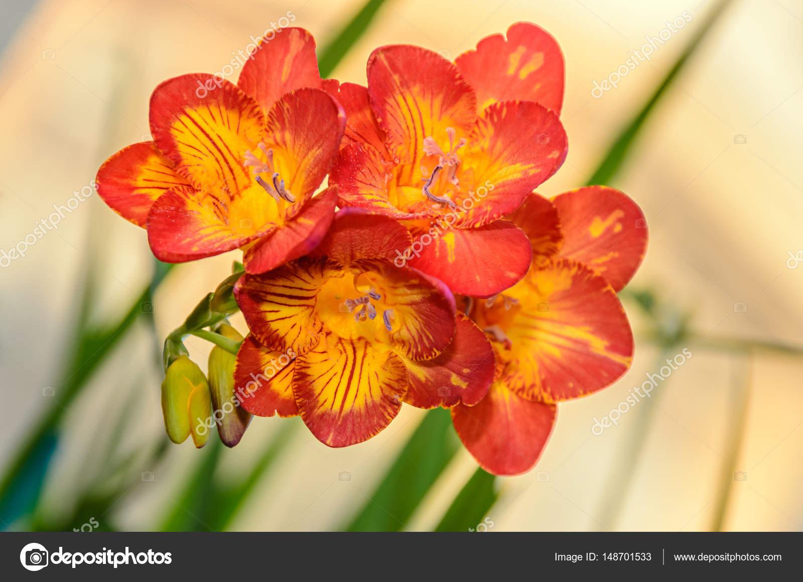 Purple With Yellow Freesia Flower Window Background Stock Photo
