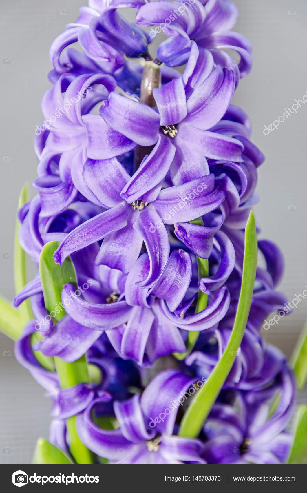 Mauve Bleu Hyacinthus Orientalis Fleurs De Jacinthe Jardin Bulbes