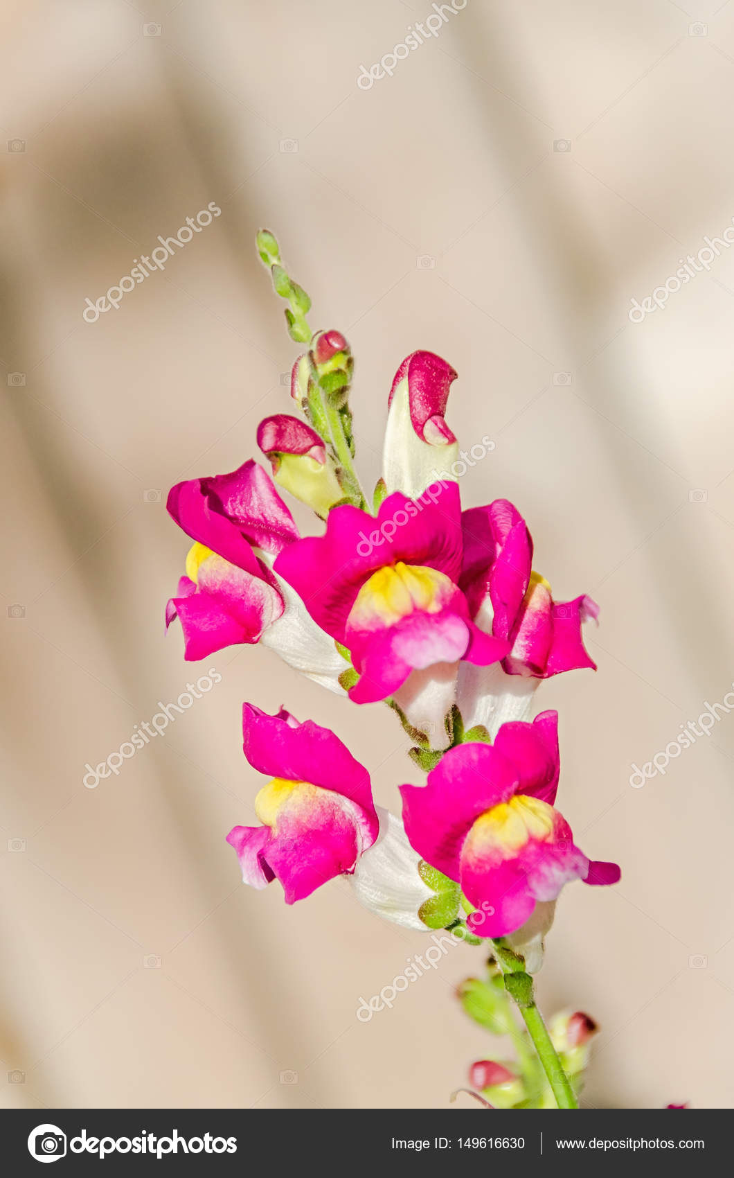 red with yellow antirrhinums dragon flowers or snapdragons stock