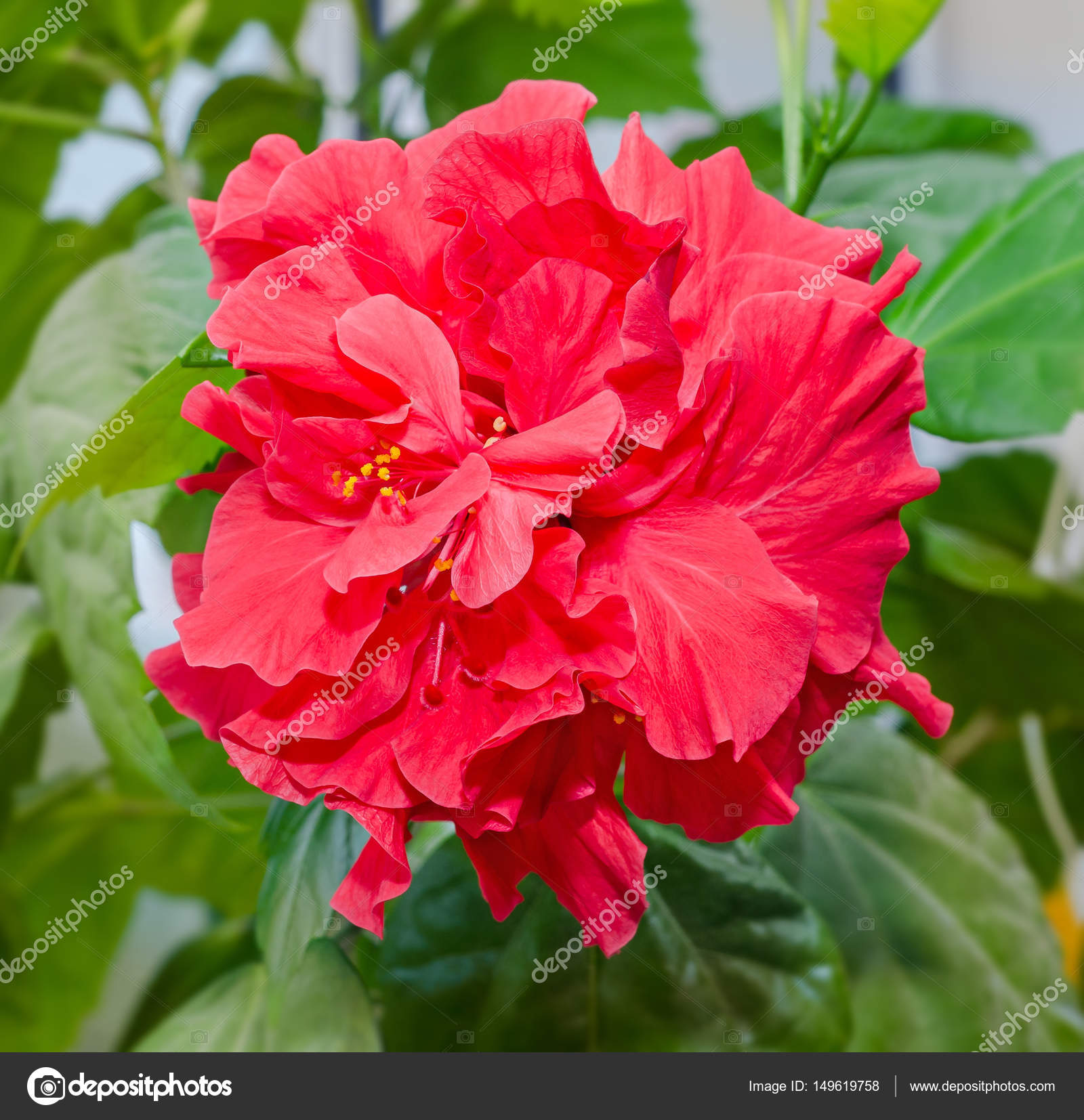 Hibiscus rosa sinensis red flower known as chinese hibiscus stock hibiscus rosa sinensis red flower known as chinese hibiscus china rose hawaiian hibiscus shoeblackplant photo by ncristian izmirmasajfo