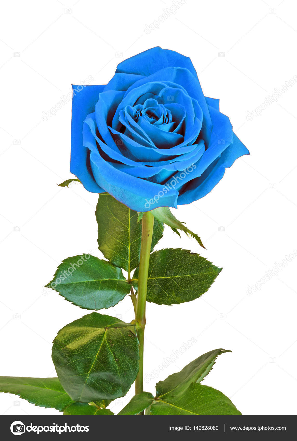 Blue Rose Flower Green Leaves Close Up Isolated On White Back