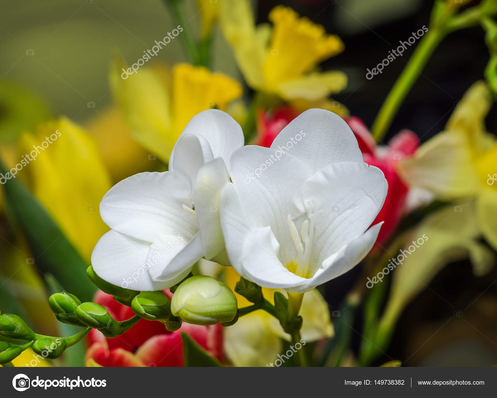 White Freesia Flower Green Buds Isolated On Bokeh Background