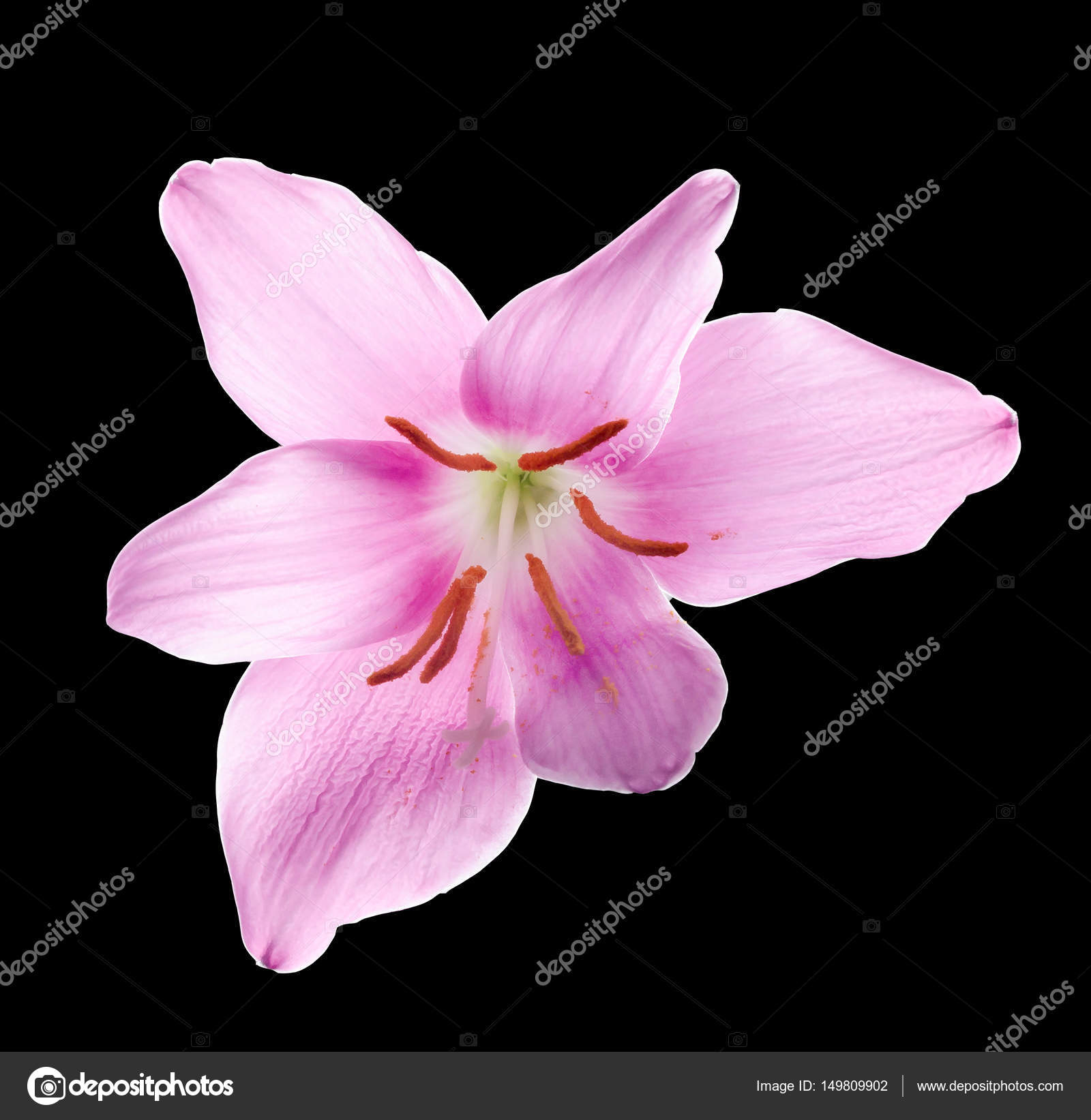 Pink Purple Zephyranthes Flower Close Up Isolated White Back