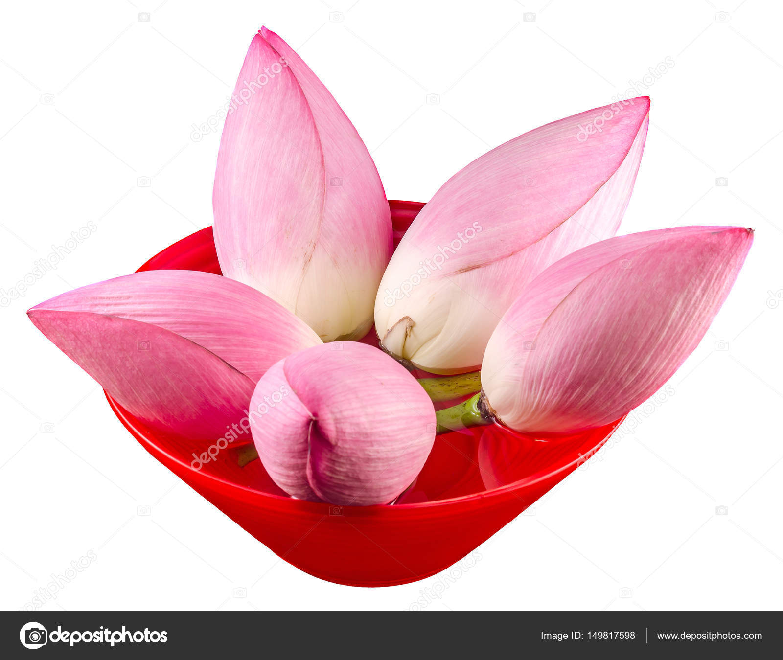 Pink Lotus Flowers Water Lily In A Red Vase Close Up Isolated