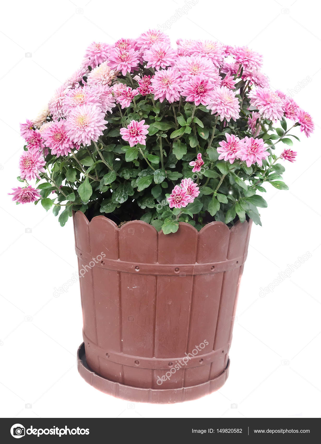 Pink Chrysanthemum Flowers In A Brown Flower Pot Close Up Stock