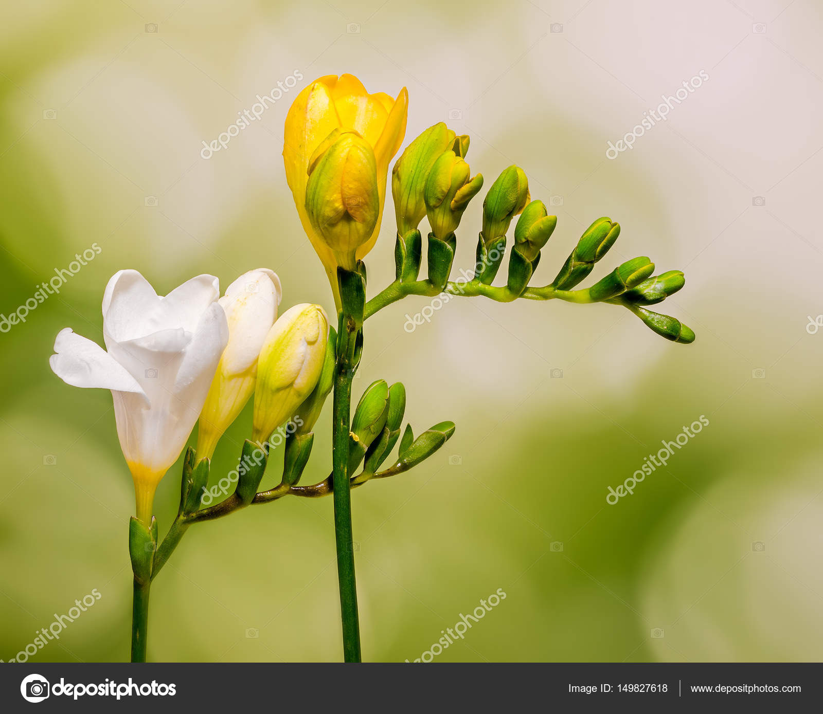 White And Yellow Freesia Flowers Close Up Gradient Bokeh Back