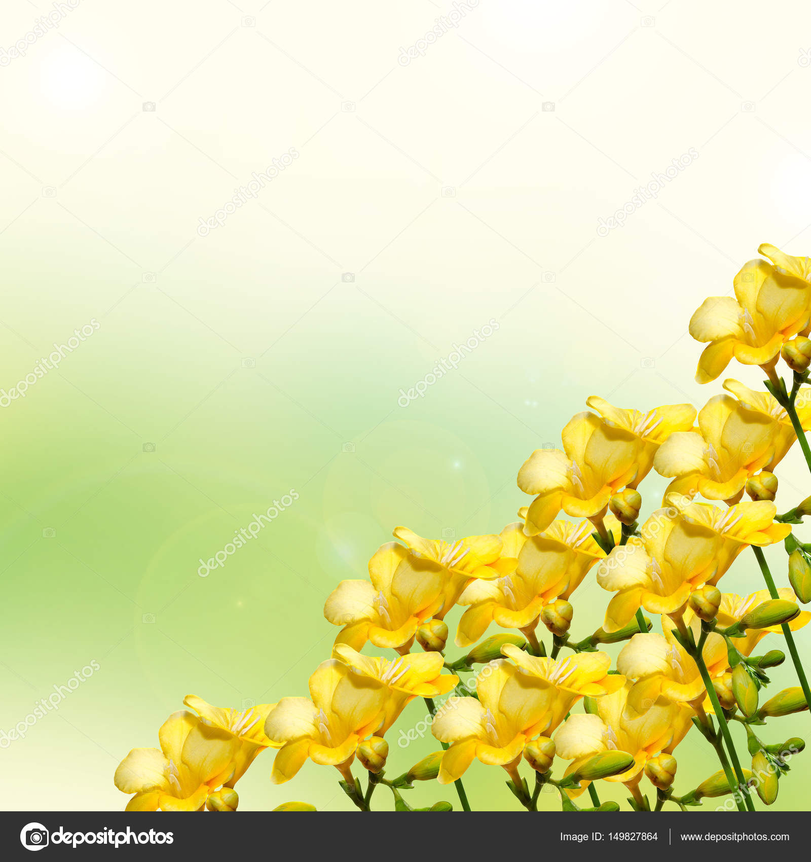 Yellow Freesia Flower Close Up Isolated Green Background Stock