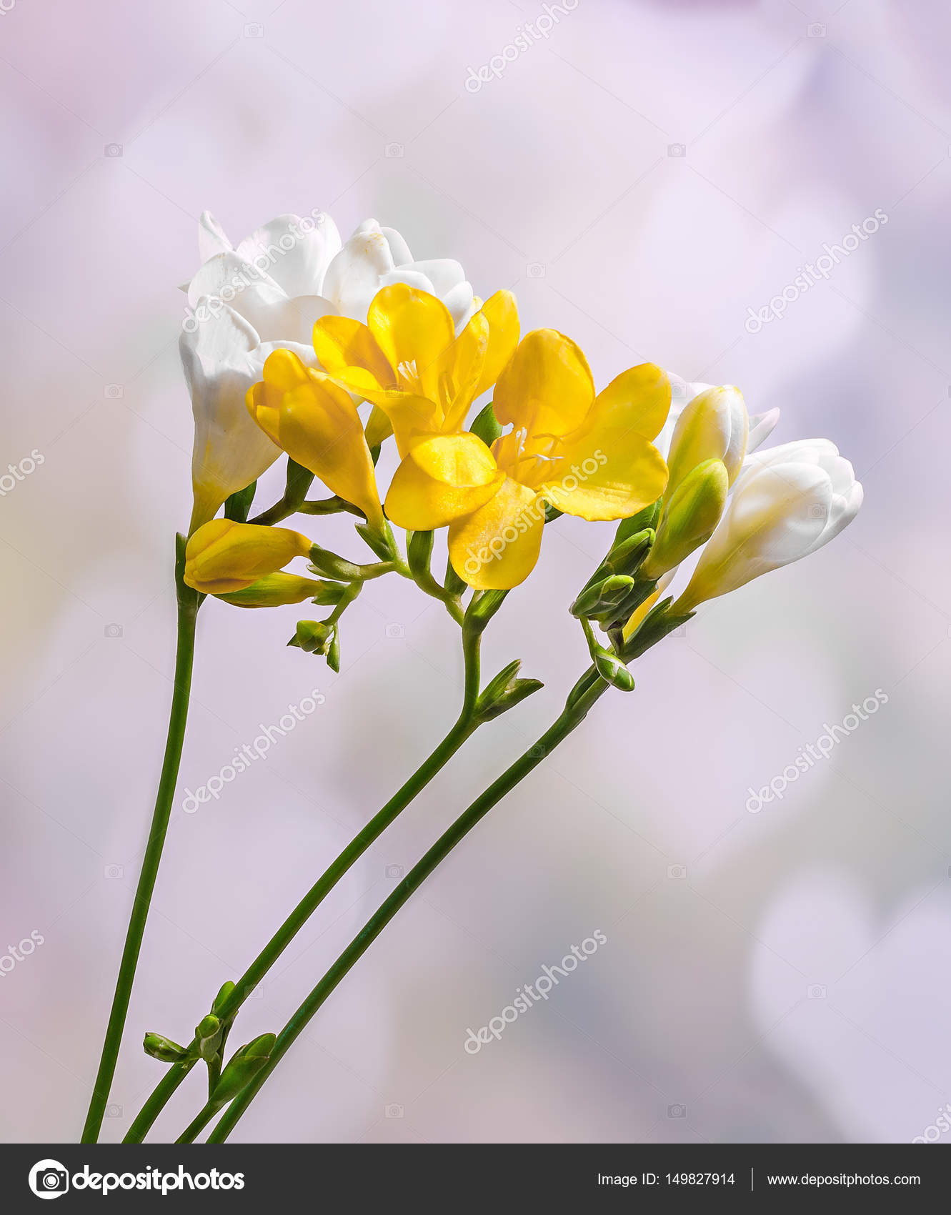 Yellow And White Freesias Flowers Close Up Gradient Bokeh Back