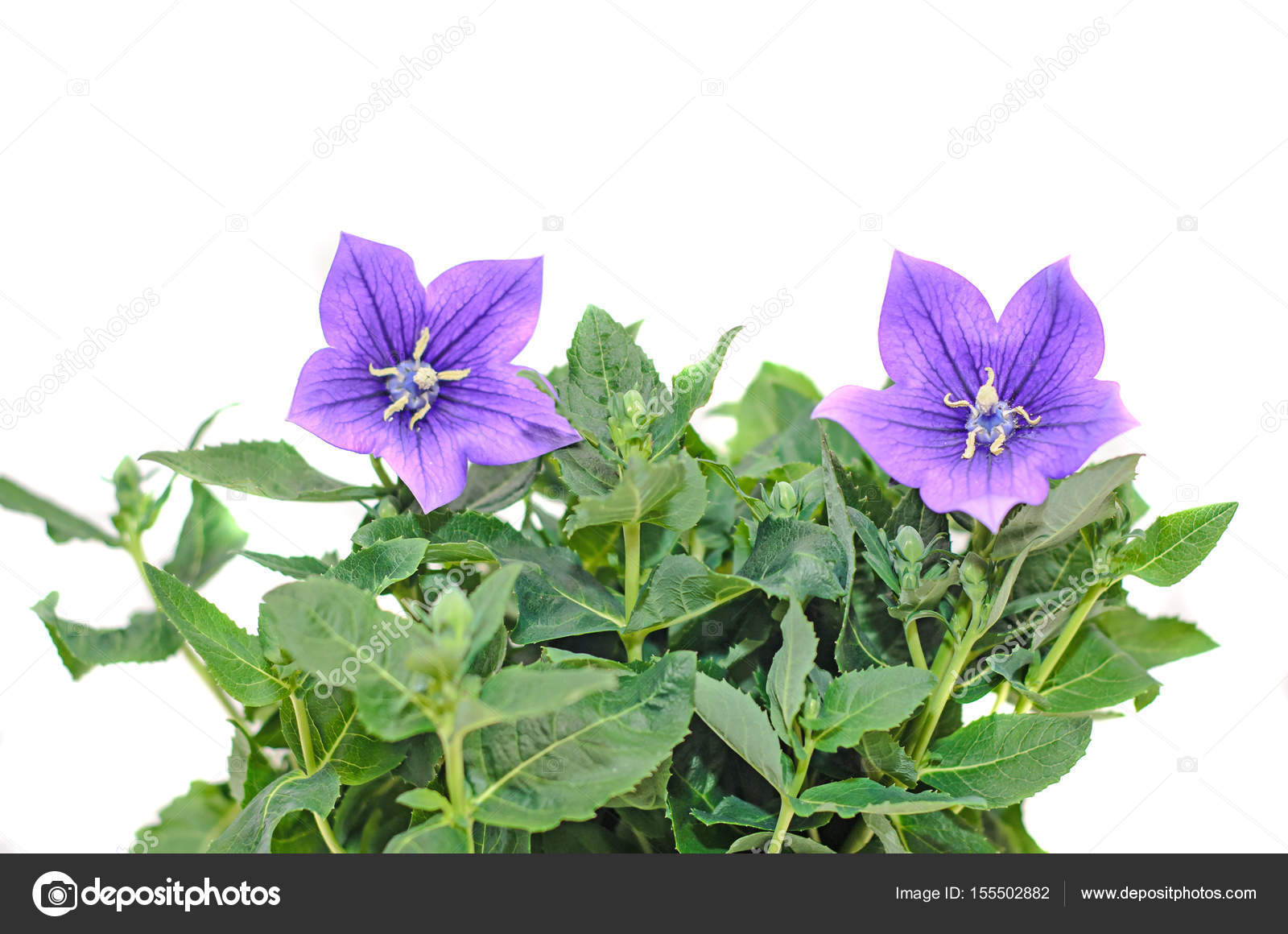 Platycodon Grandiflorus Astra Blue Balloon Flower With Buds Stock