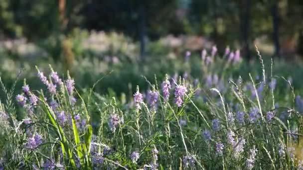Herb pole. Levandule