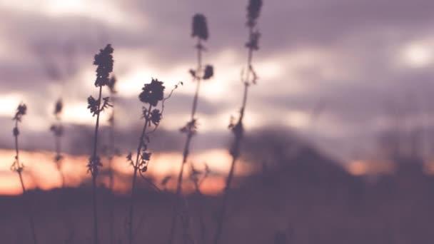 Régi száraz vadvirágok nőnek ősszel ködös területen naplementekor