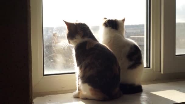 Two cute kittens sit on the windowsill and look out the sunny window, then one cat washes its paw