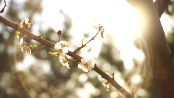 Almond tree branch with white beautiful flowers in sun rays spectrum