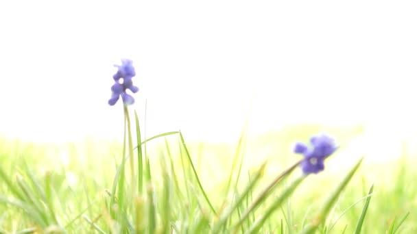 Dvě malé modré květy s kulatými kvetoucími cibulkami v jarní zahradě. Boční pohled, makro.