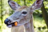 Female deer eating a carrot-Stock Photos