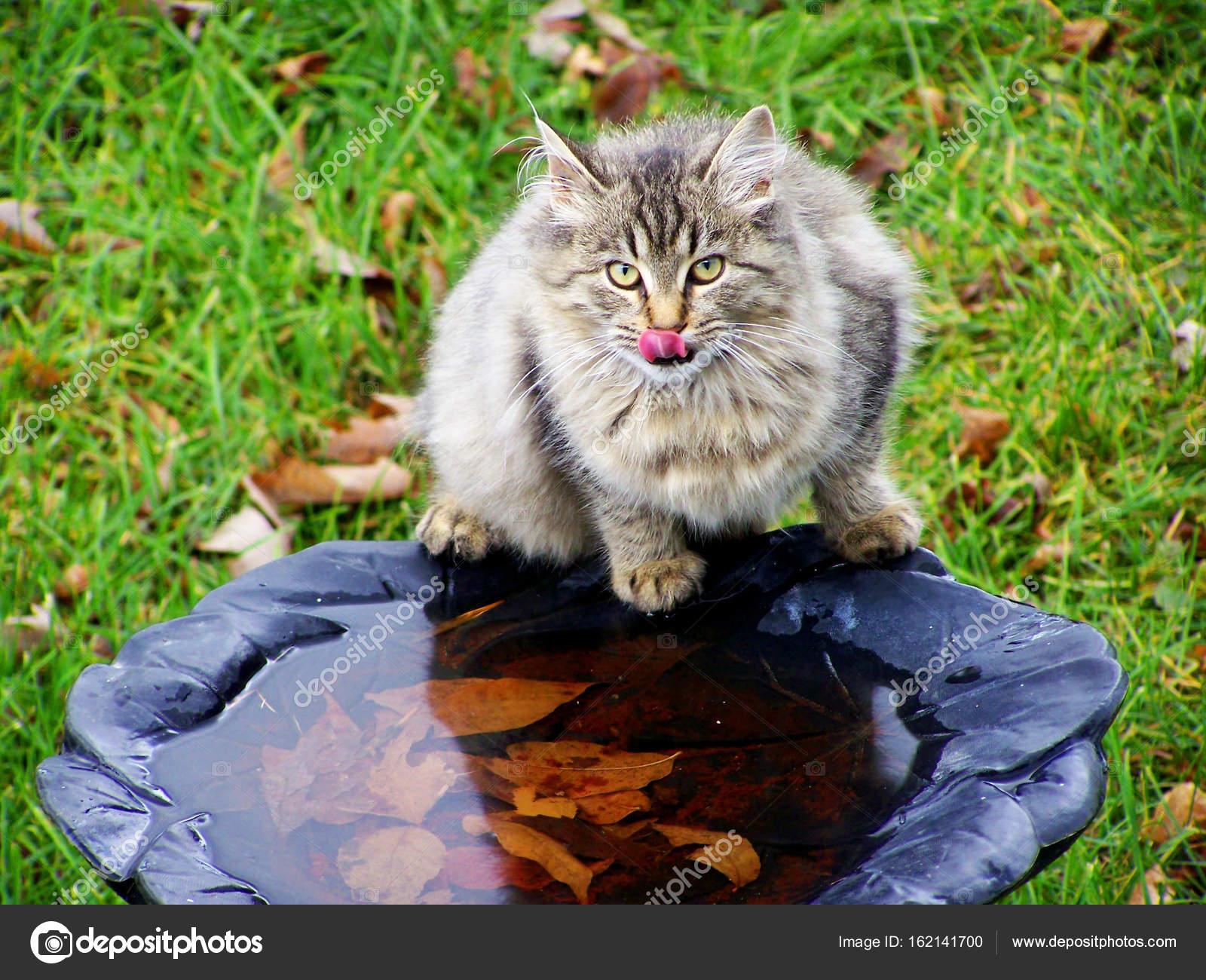wilde Katze Wasser in der Vogeltränke — Stockfoto © sacajawa60 ...