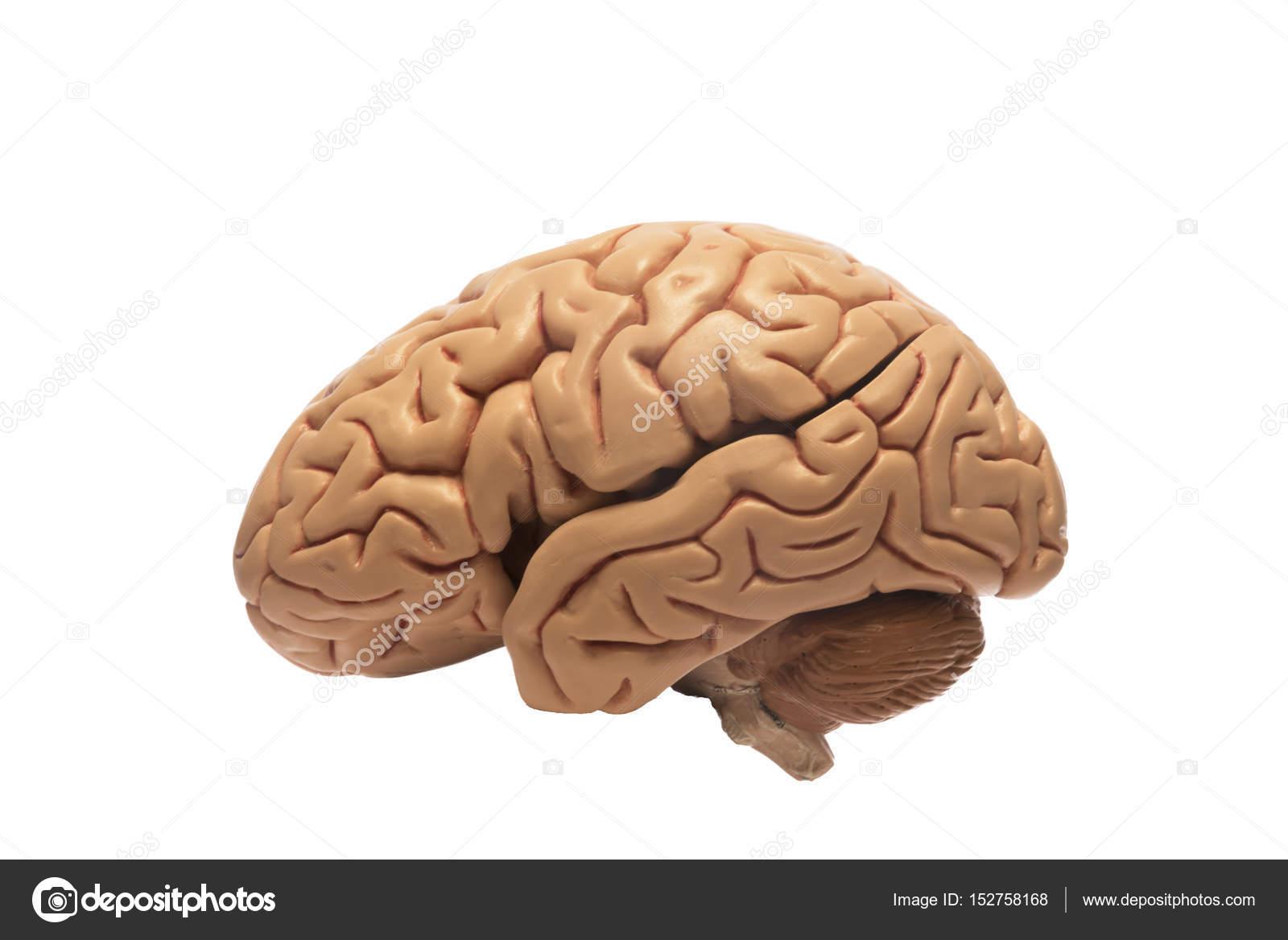 Künstliche menschliche Gehirn Modell, links einseitig — Stockfoto ...
