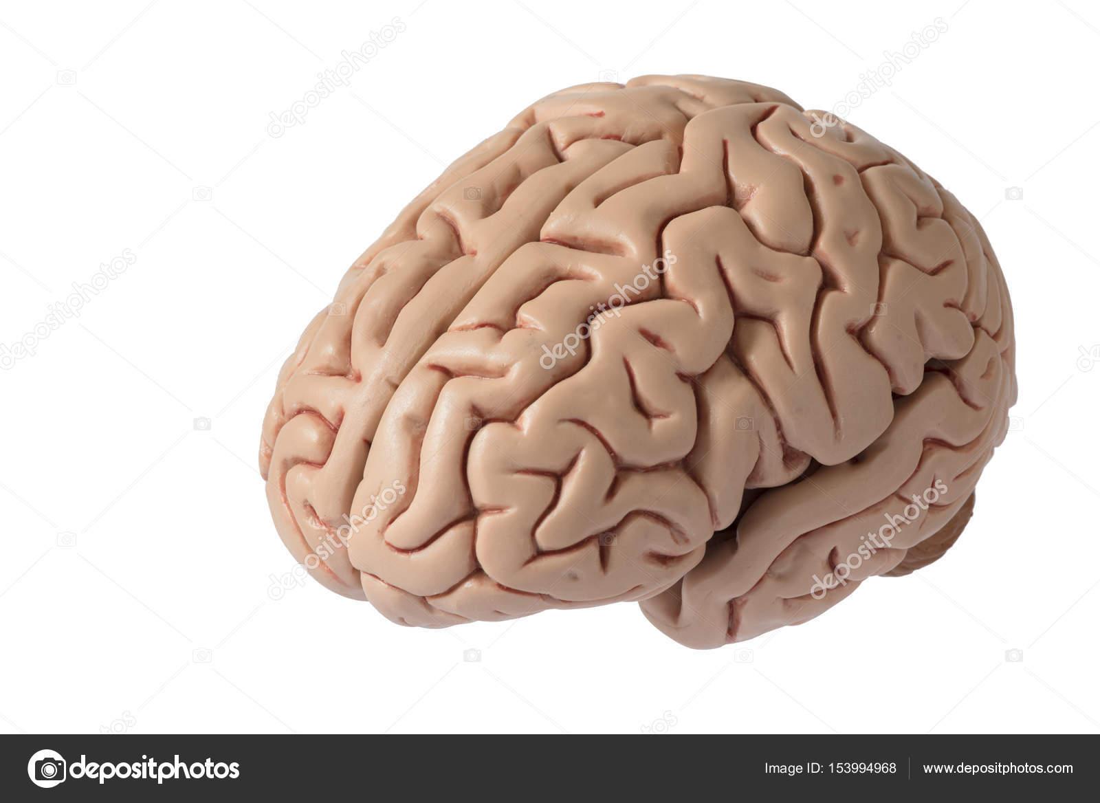 Artificial human brain model — Stock Photo © srikijt #153994968