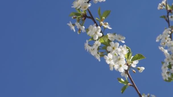 Větve bílého kvetoucího třešně nad modrou oblohou.