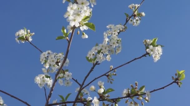 Branches of white blooming cherry tree over blue sky.