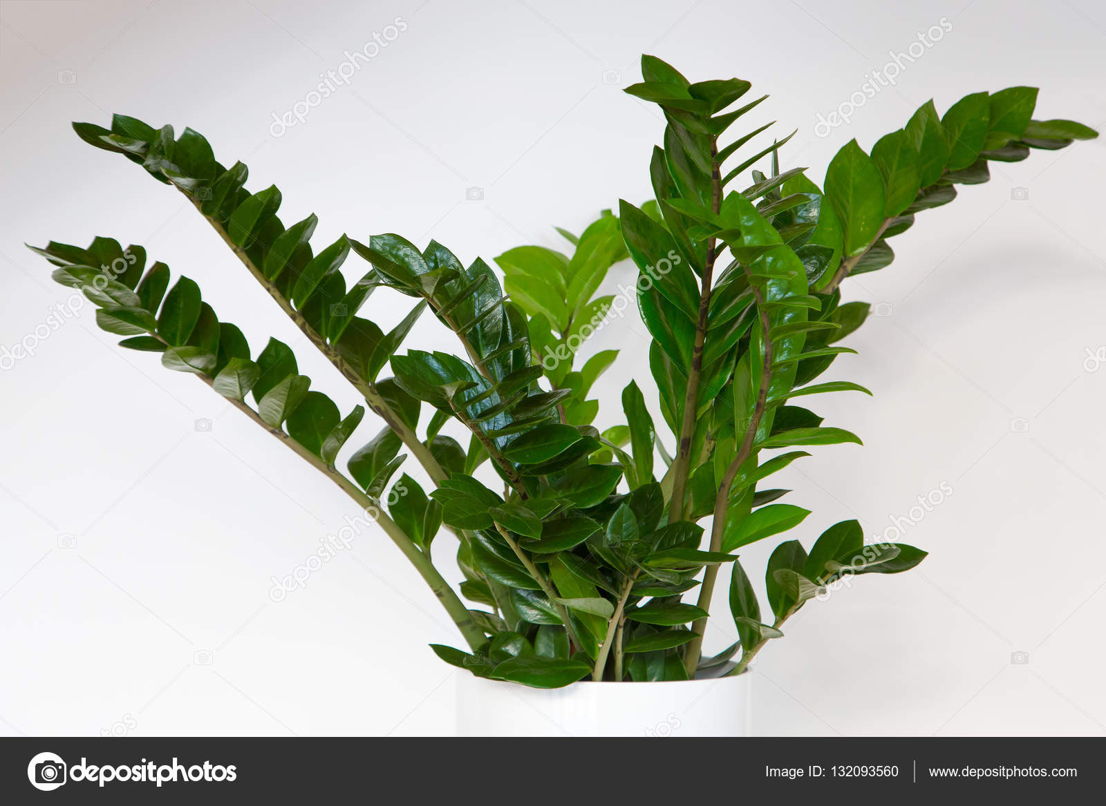 Zanzibar gem plant stock photo jrp studio 132093560 for Plante zanzibar