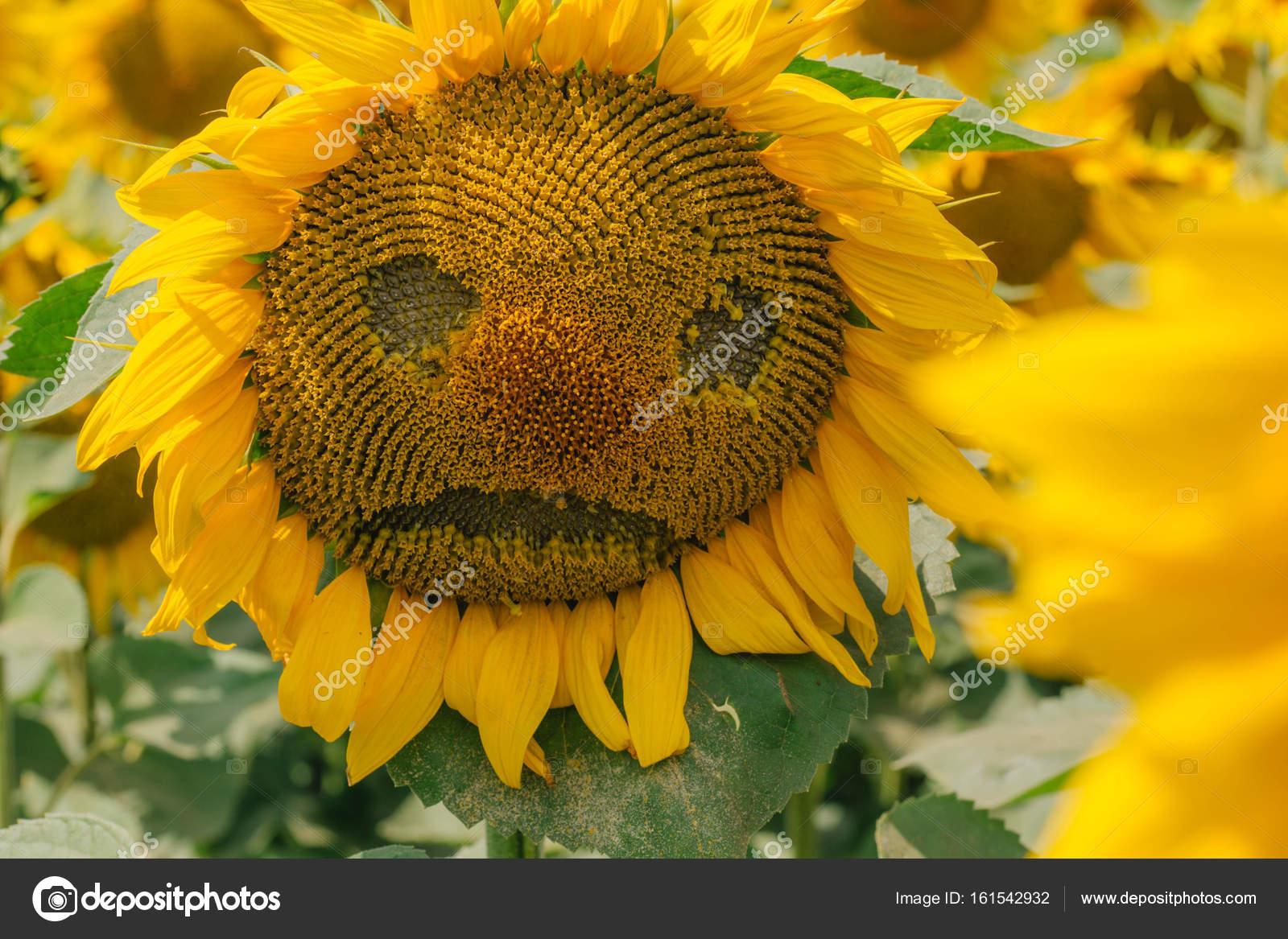 Sunflower Desktop Wallpaper Sad Sunflower Field With Sunflowers Stock Photo C Stockadrik 161542932