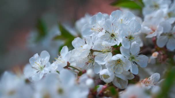 Large white flowers of cherry. Spring flowering cherry tree.
