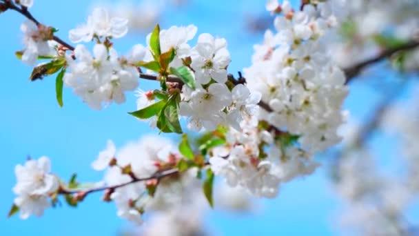 Cseresznyefa nagy fehér virágokkal. Tavaszi kert méhekkel.