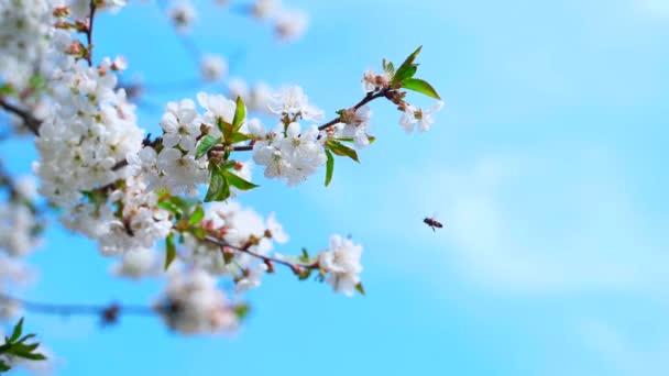 Včela na květinách třešňové větve proti jasně modré obloze.
