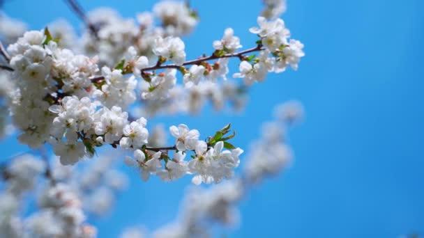 Kvetoucí sakura větev se houpe ve větru na modrém pozadí.