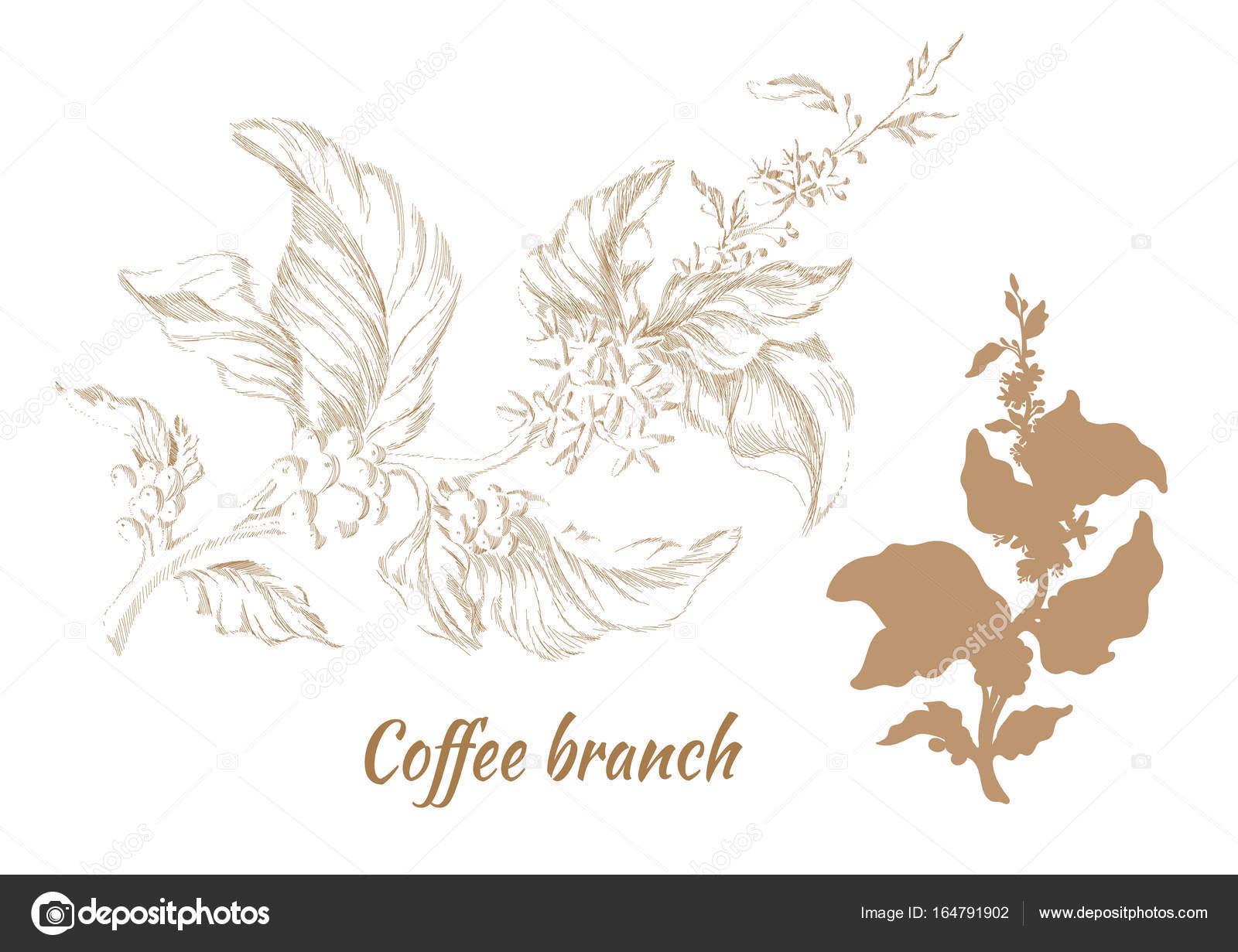 Conjunto De Ramas De árbol Con Hojas Y Granos De Café