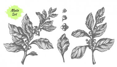 Set of mate tree branches. Botanical drawing. Vector