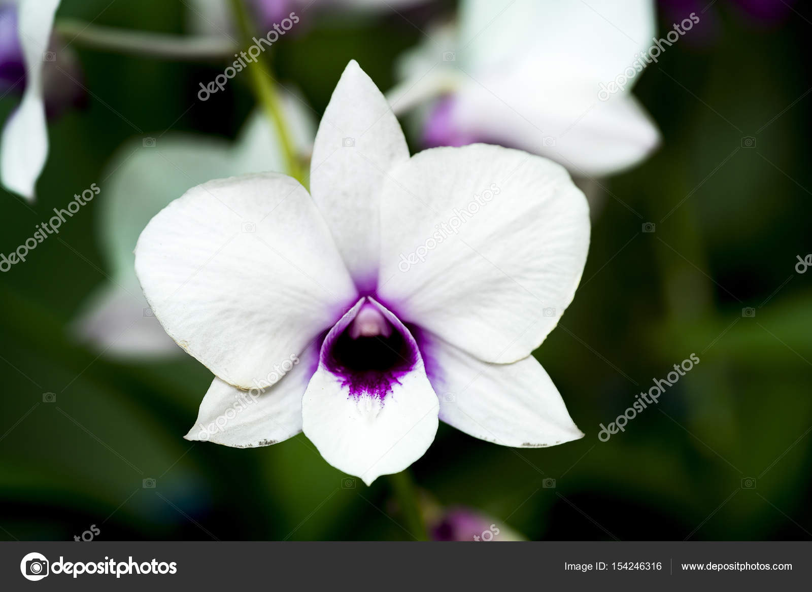 The Beautiful White Dendrobium Orchid With Dark Purple Center
