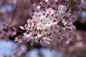 třešňový květ na větvi
