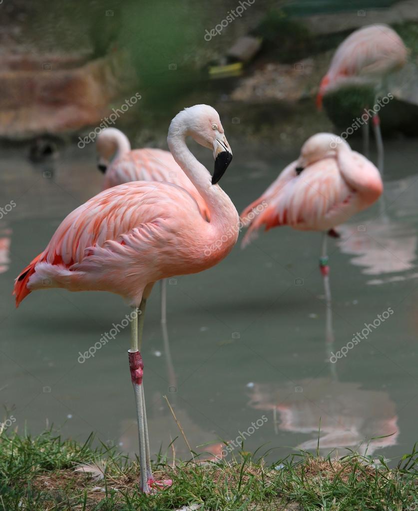 schöne rosa flamingo mit farbigen federn und langer schnabel