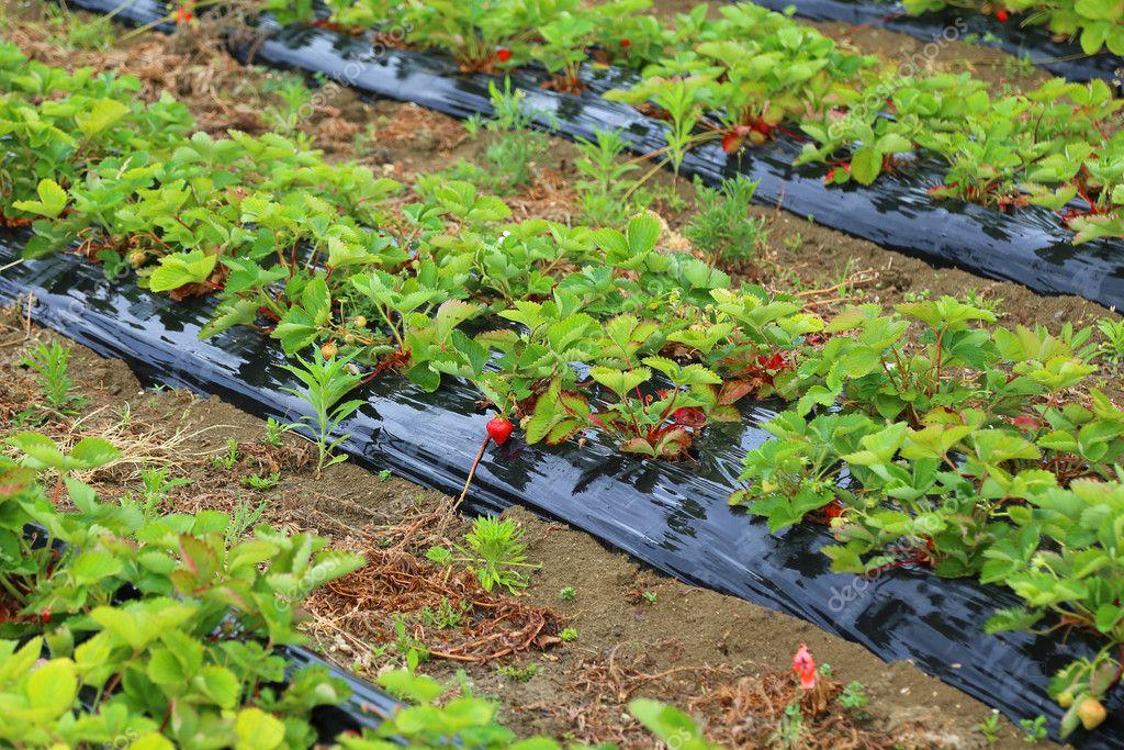 Piante di fragola in crescita nella pianura padana in for Piante fragola vendita