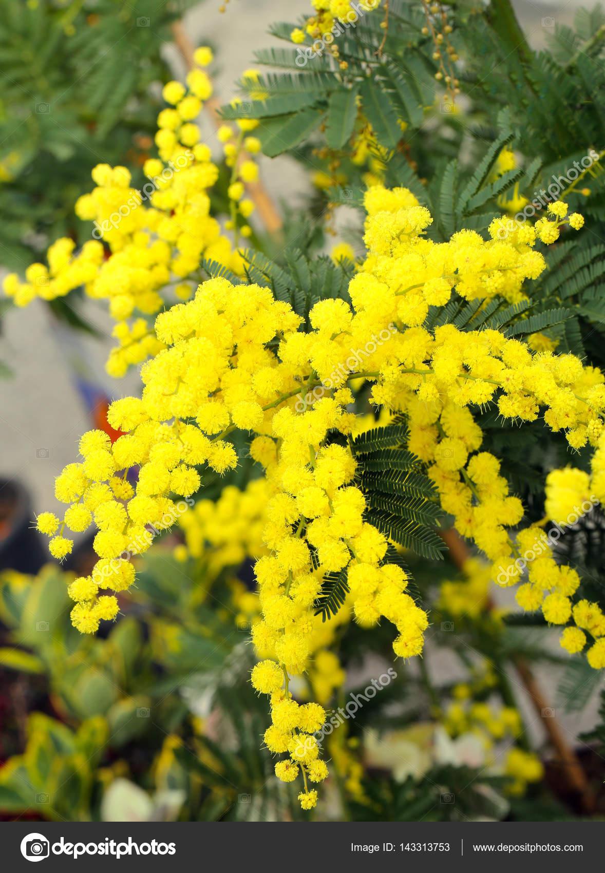 Pianta Fiori Gialli.Sfondo Di Fiori Gialli Del Mimosa Bellezza Sulla Pianta Nel Mese