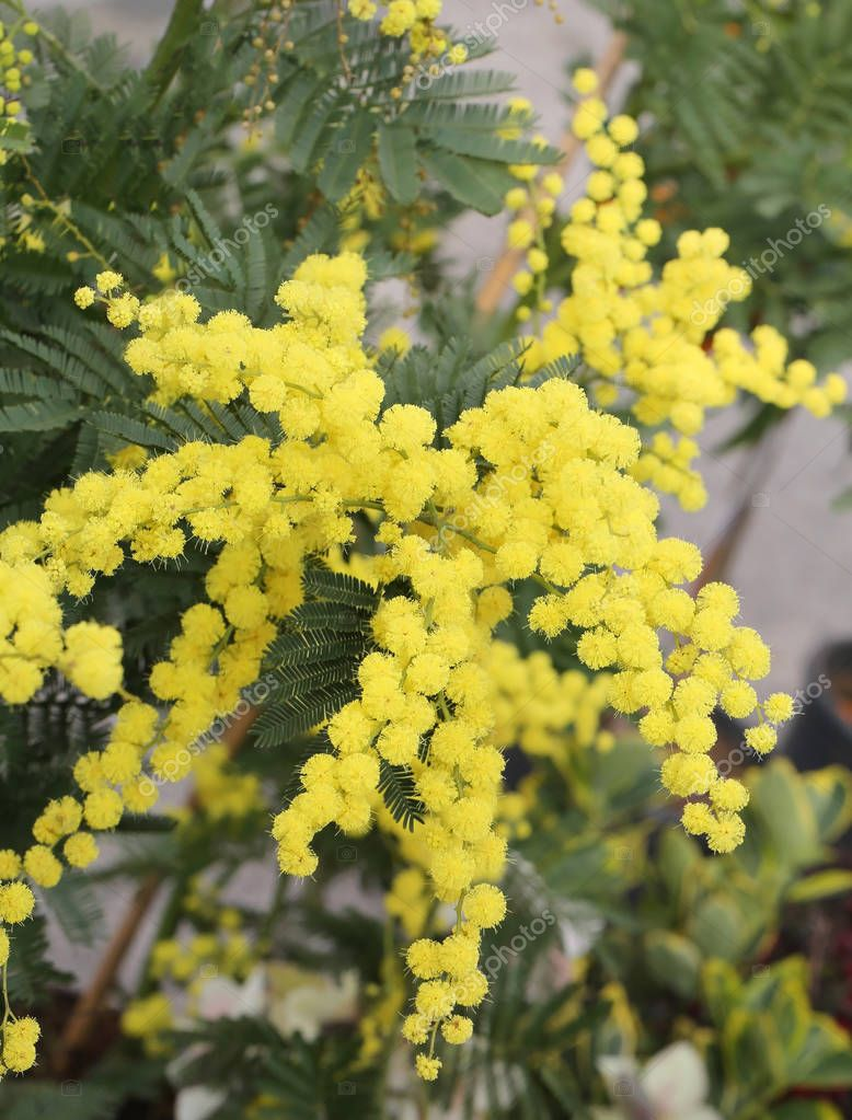 background of beauty yellow mimosa flowers on the plant
