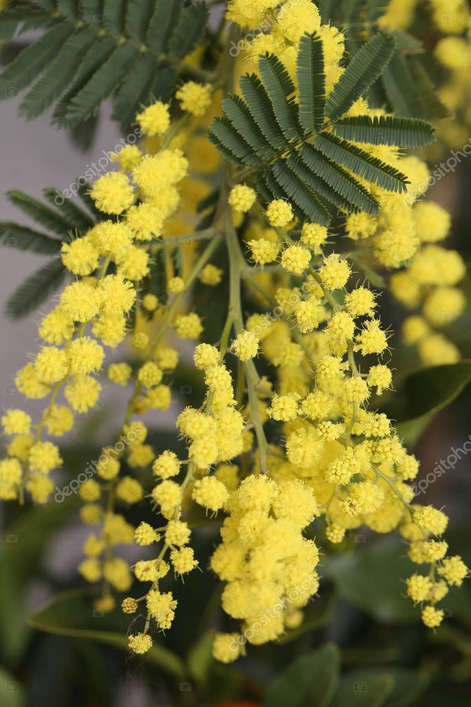 mimosa flowers on the plant in March