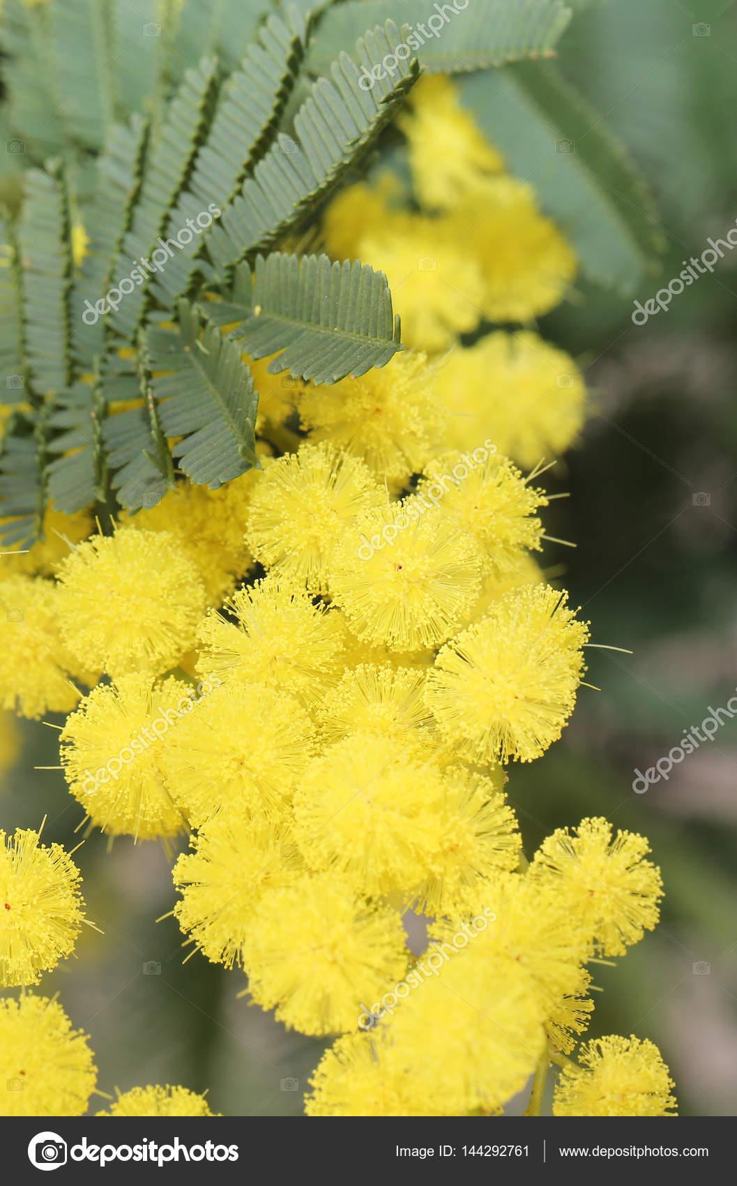 Yellow Mimosa Flowers For International Women S Day Stock Photo