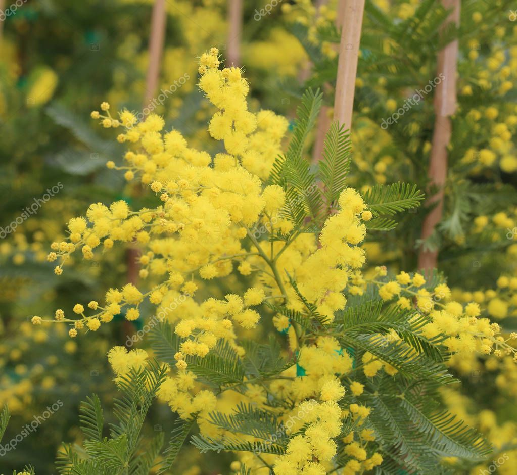yellow mimosa flowers for International Women s Day