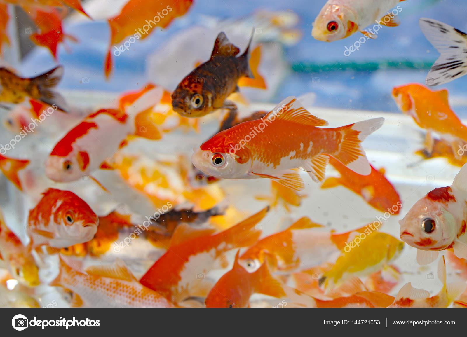 Goldfish In The Aquarium Pet Shop Stock Photo C Chiccododifc 144721053