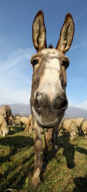 funny donkey with very long ears photographed with a fisheye len
