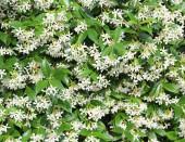 bílé květy jasmínu se zelenými listy