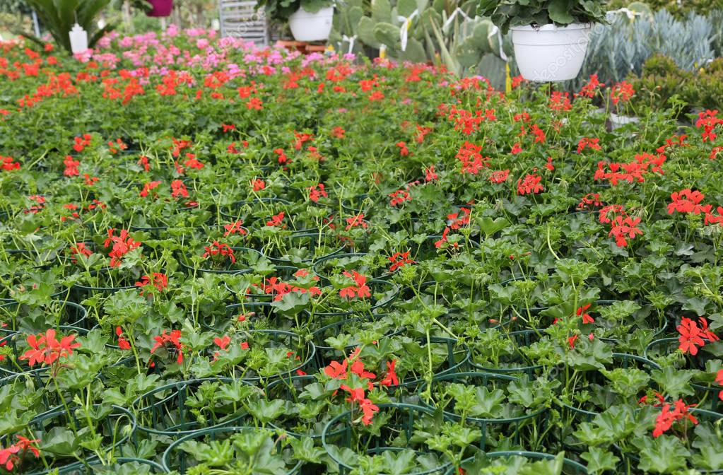 red geraniums on sale in the greenhouse in spring