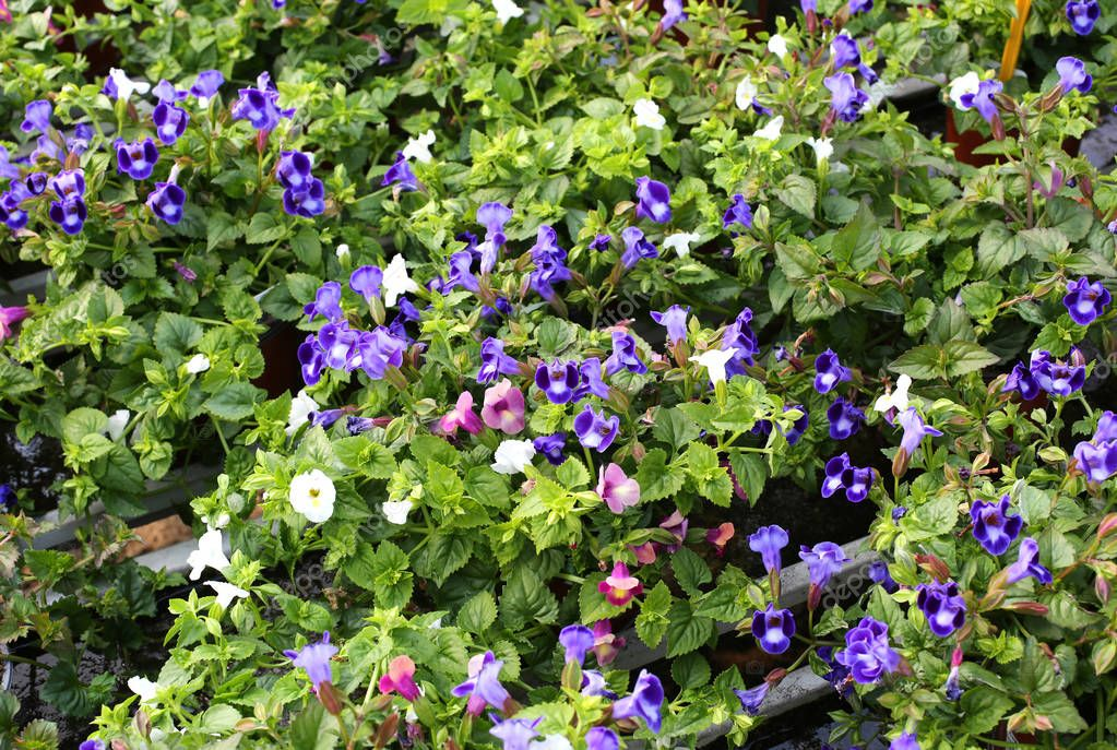 background of torenia flowers